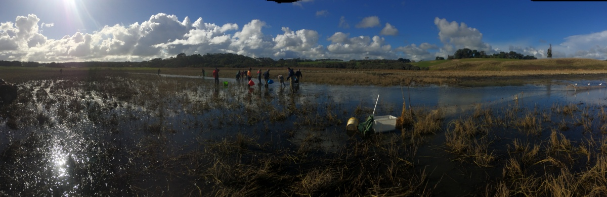 Curdies River estuary fish rescue