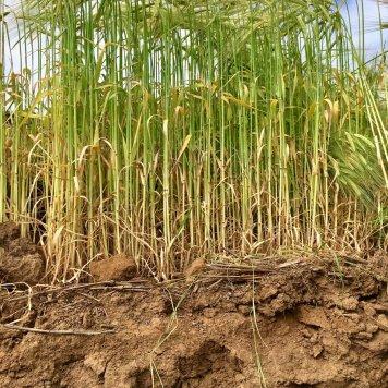 cundare barley crop