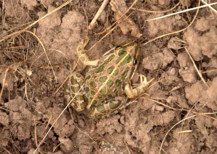 CCMA Spotted Marsh Frog