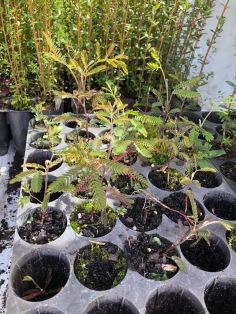 Planting stock
